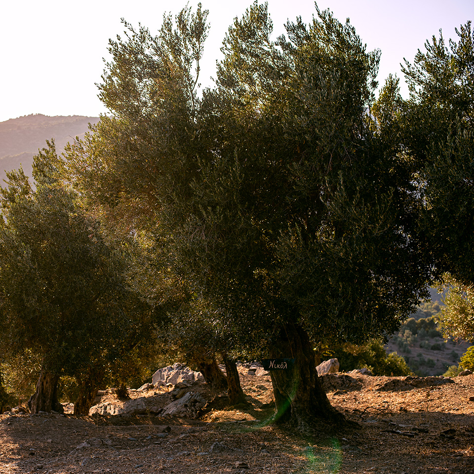 Adopt an Olive Tree in Greece