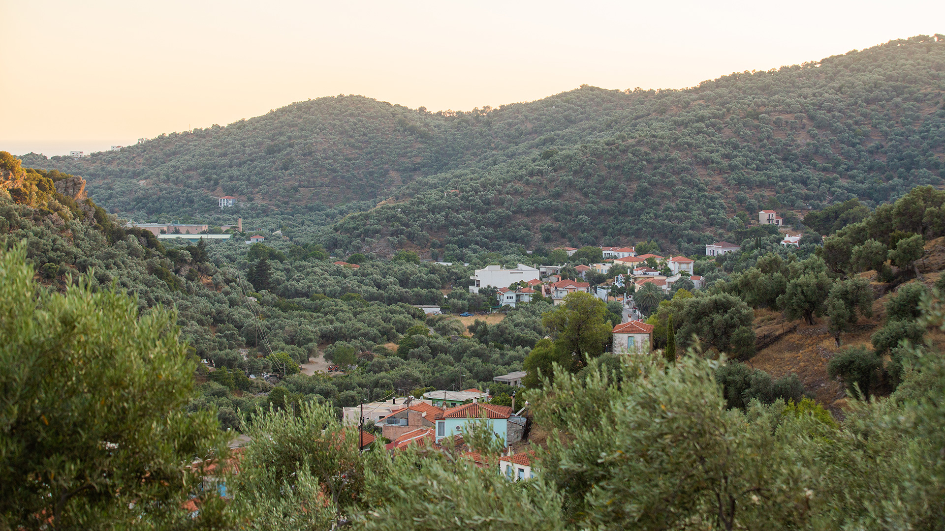 Olive Groves in Lesvos