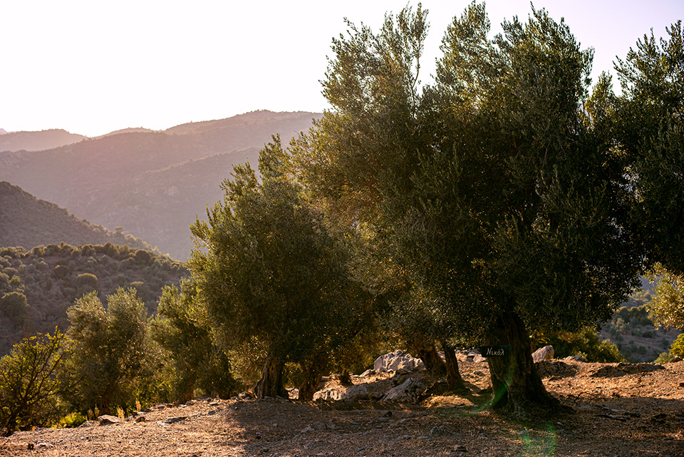 Olive Trees in Lesvos 1