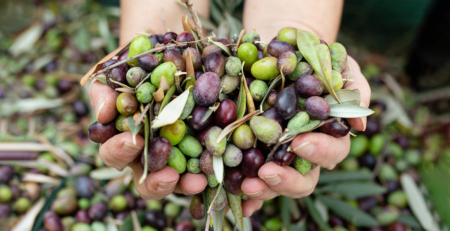 Olive Trees harvested with love