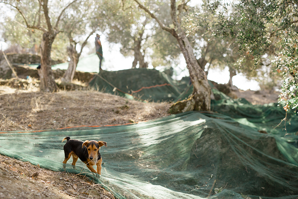 dog in olive farm