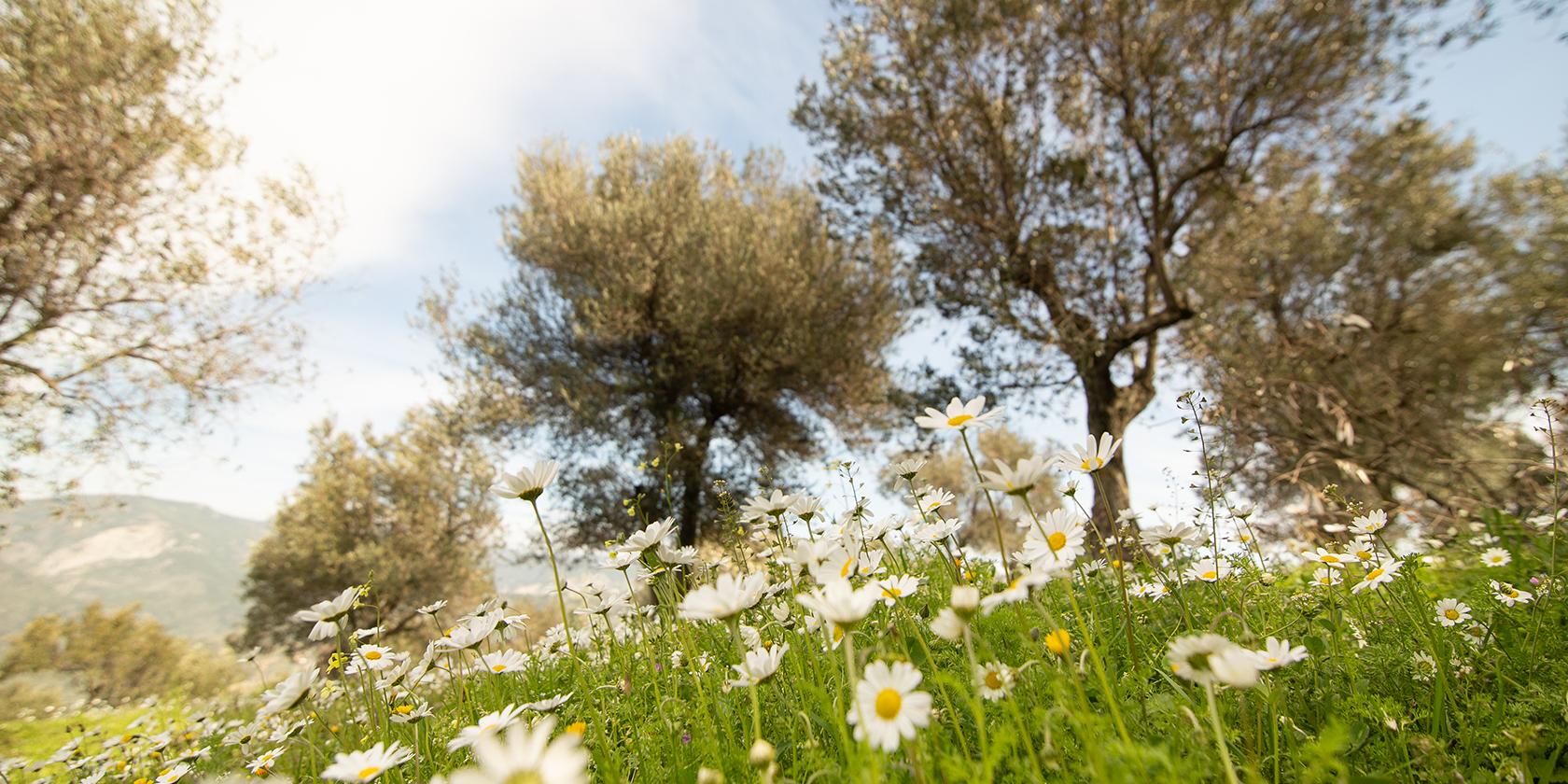 Lesvos Olive Trees