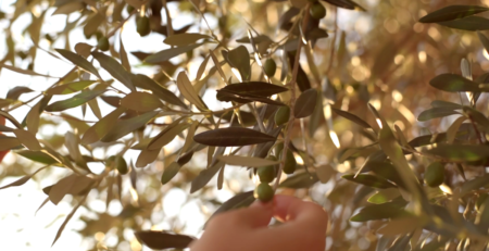 Touching olives